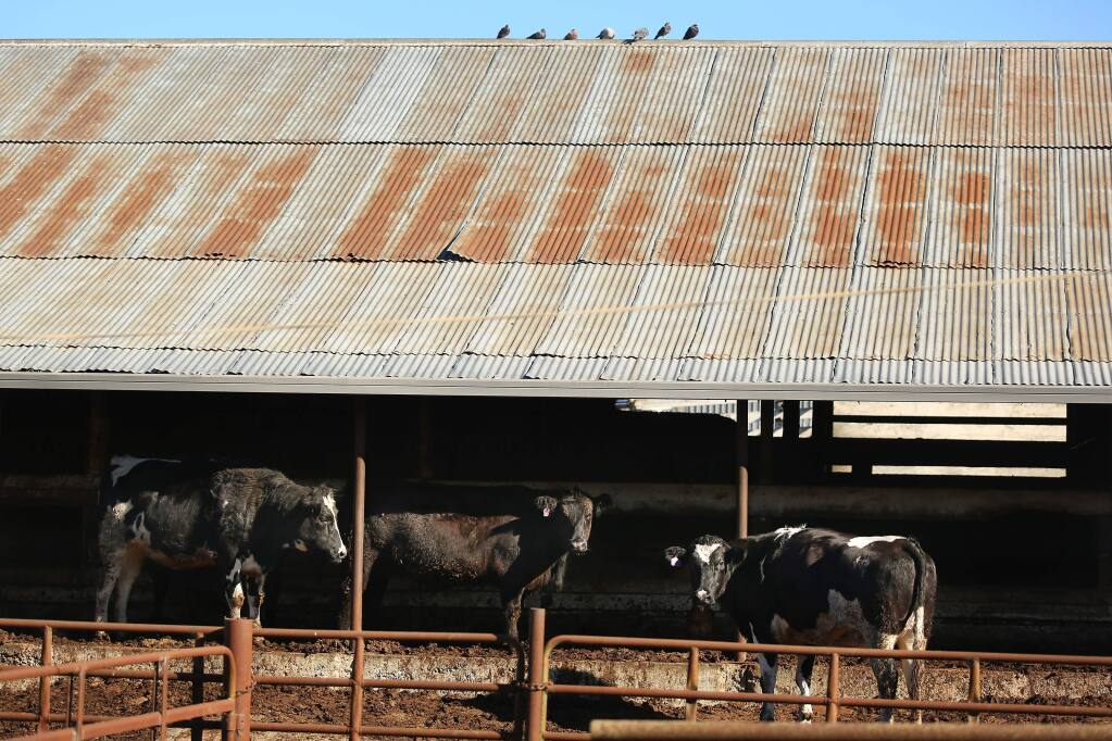 Cows destined for slaughter are shown at the Rancho Feeding plant in Petaluma in January 2014. (CONNER JAY/ PD)
