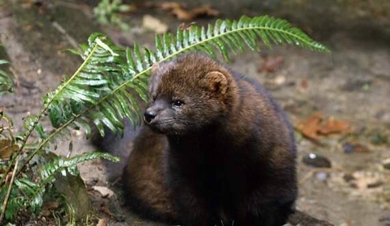 Bethany WeeksEnvironmental groups say the Pacific fisher is under threat from rodent poison frequently used at unregulated pot grow sites.