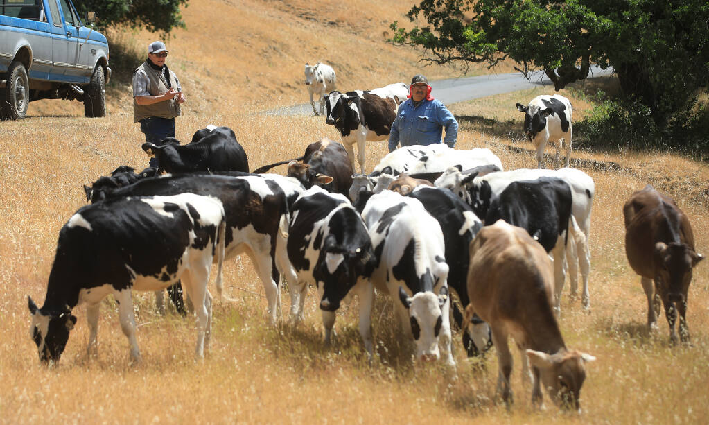 Dairyman John Bucher and assistant manager Javier Lopez of Bucher Farms in Healdsburg check on their dairy cattle, Wednesday, May 26, 2021.  (Kent Porter / The Press Democrat) 2021