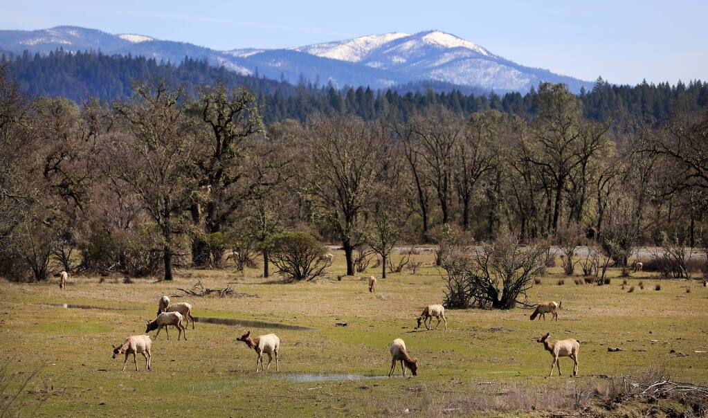 A tule elk herd grazes in a meadow at Lake Pillsbury in Lake County, Thursday, March 14, 2019. (Kent Porter / The Press Democrat) 2019