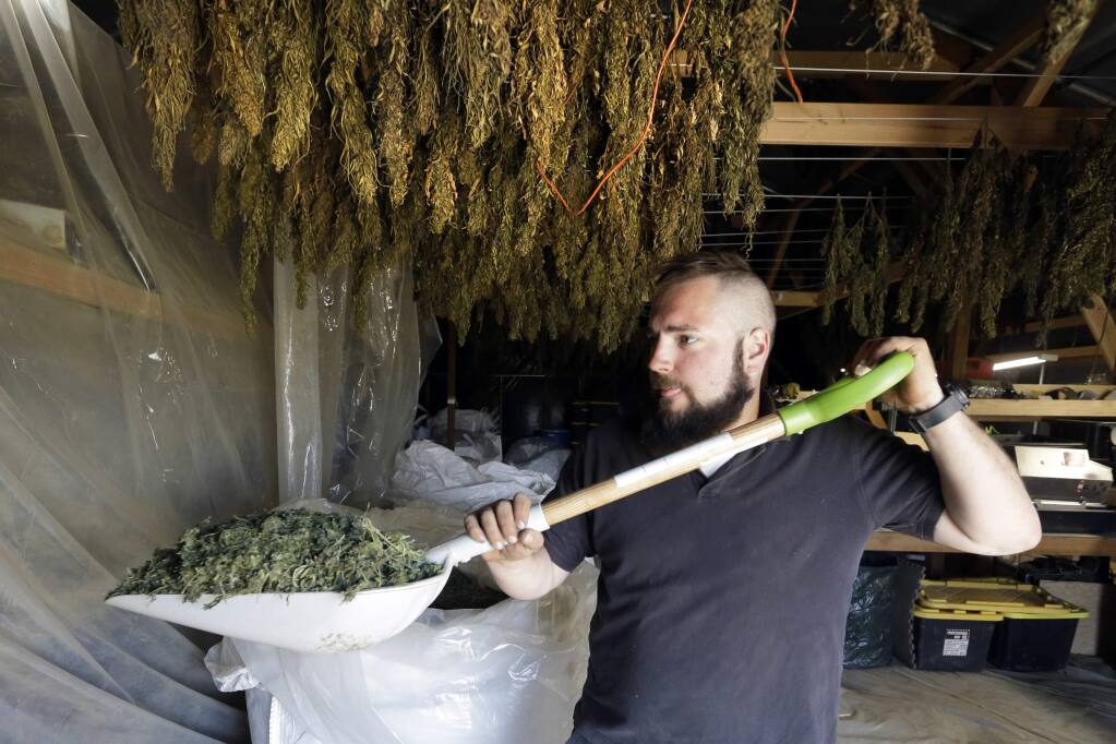 In this April 23, 2018 photo, Trevor Eubanks, plant manager for Big Top Farms, shovels dried hemp as branches hang drying in barn rafters overhead at their production facility near Sisters, Ore. A glut of legal marijuana has driven pot prices to rock-bottom levels in Oregon, and an increasing number of nervous growers are pivoting to another type of cannabis to make ends meet--hemp. (AP Photo/Don Ryan)