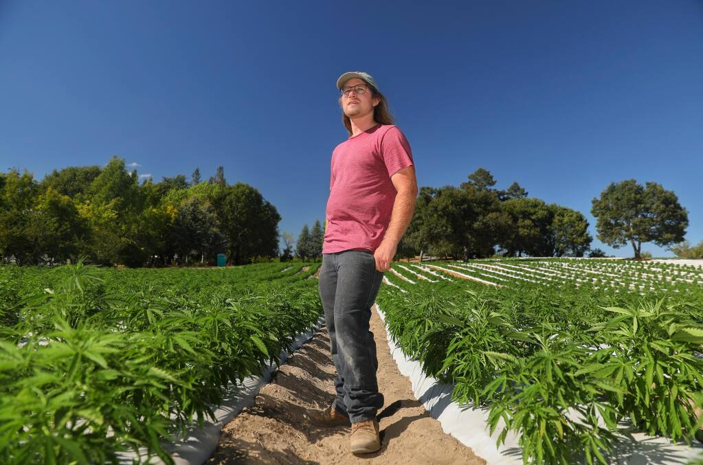 Nick Stromberg is the CEO of Beacon Hemp, which produces varietals of hemp seeds for the farming community. (Christopher Chung/ The Press Democrat)