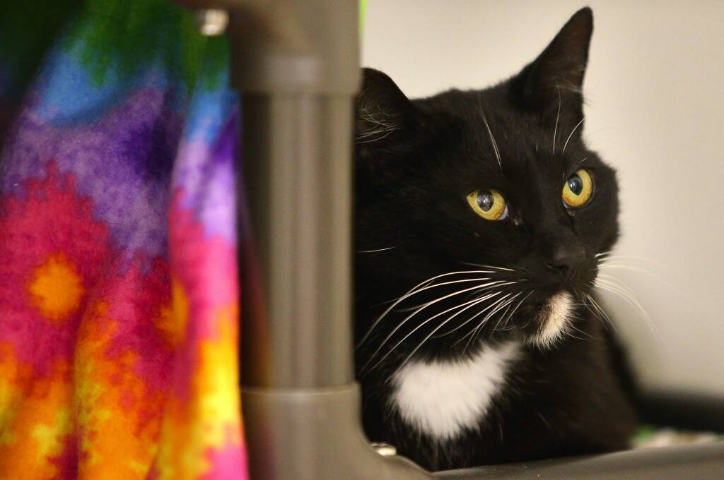 Hammie is available for adoption at the Sonoma County Humane Society.(Christopher Chung/ The Press Democrat)
