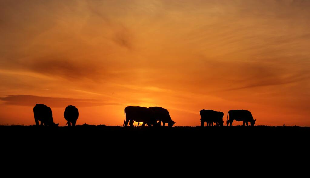 The sun sets behind grazing dairy cattle in this 2016 Press Democrat file photo captured at Point Reyes National Seashore in Marin County. (KENT PORTER/THE PRESS DEMOCRAT)