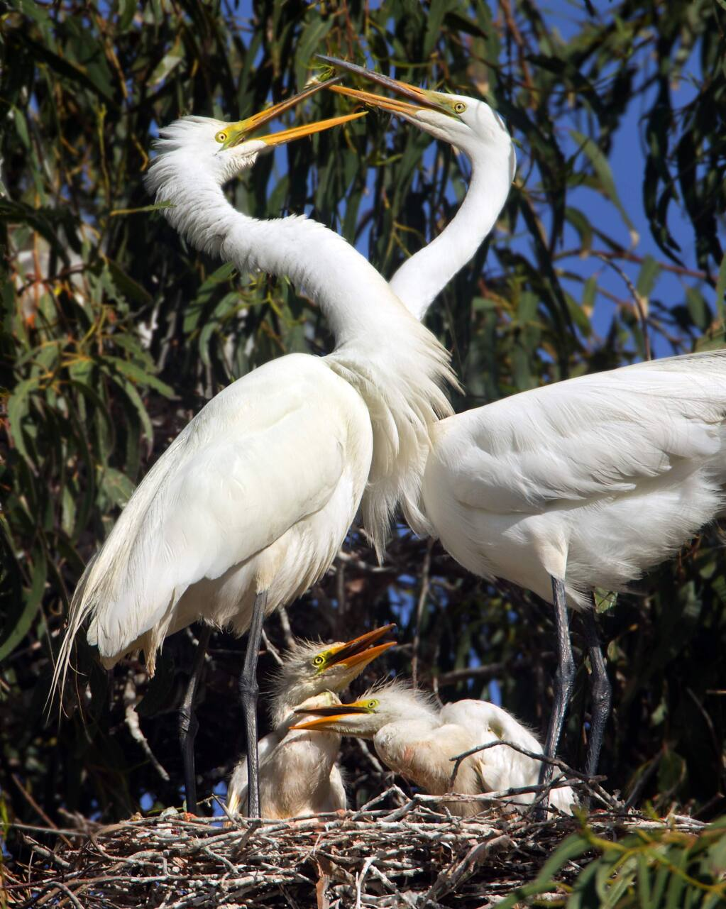 More than 300 students from Lincoln Elementary School in Santa Rosa visited their local rookery in eucalyptus trees along Ninth St. A nesting pair of Great White Egrets great each other over their young chicks on Friday. (photo by John Burgess/The Press Democrat)