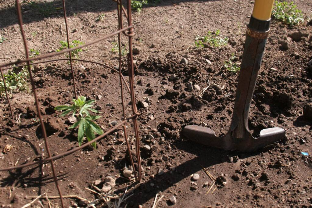 A cannabis seedling takes root in a Sonoma resident's garden, along with the squash, carrots and peas. (Christian Kallen/Index-Tribune)