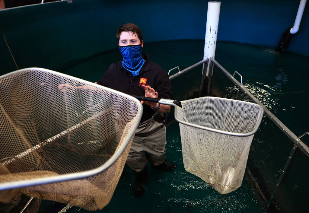 Army Corp of Engineers fisheries biologist Shanon Bockmon, nets dozens of coho salmon broodstock from the Warms Springs Dam hatchery that will be transported to Casa Grande High School's United Anglers program, for safe keeping as a precaution against the increasing temperature of the water at the hatchery, Tuesday, Aug. 17, 2021   (Kent Porter / The Press Democrat) 2021