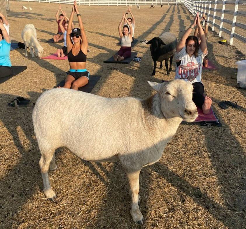 Goat Yoga at Charlie's Acres.