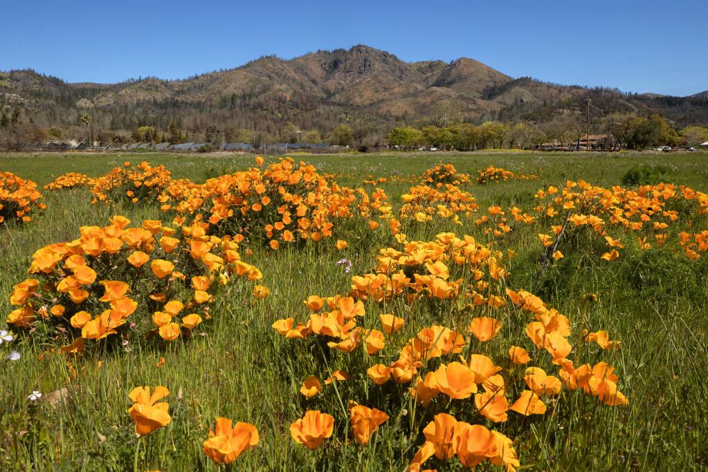 California poppies bloom in the Sonoma Valley under Hood Mountain.   (John Burgess/The Press Democrat)