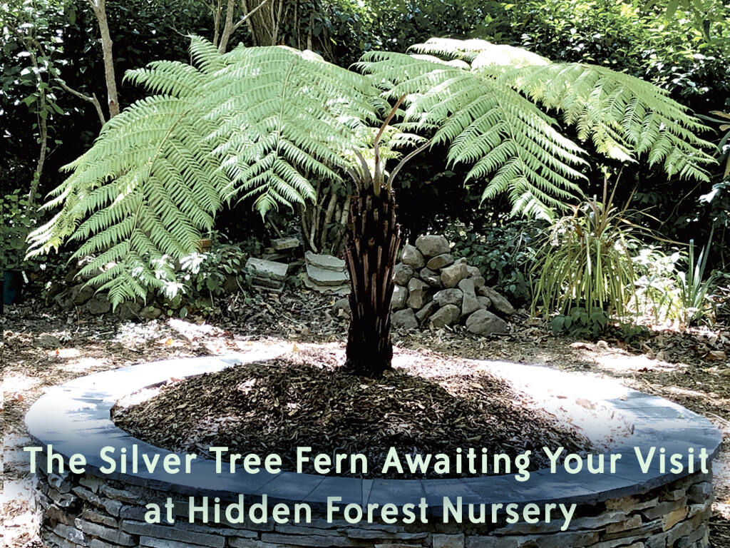 The Silver Tree Fern resting in her new home