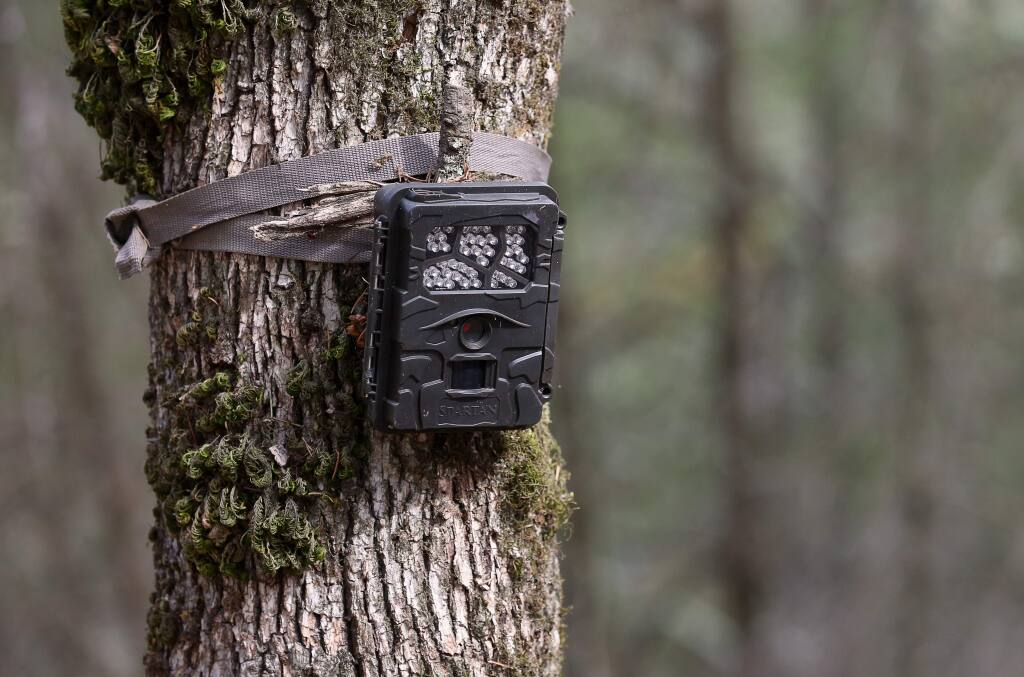 A game camera mounted on a tree set up in Pepperwood Preserve to capture footage of wildlife, near Santa Rosa on Wednesday, October 16, 2019. (Christopher Chung/ The Press Democrat)