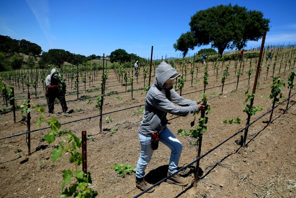 Julia, who declined to give her last name, joins other field workers pulling sucker vines off a new vineyard planting on Friday, May 22, 2020 in Healdsburg. (Kent Porter / The Press Democrat)