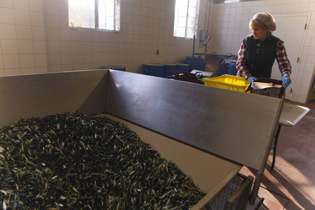 Deborah Rogers, the mill manager at McEvoy Ranch prepares jalapeños that will be infused into the newly harvested olive oils being made. (CRISTINA PASCUAL/ARGUS-COURIER STAFF)