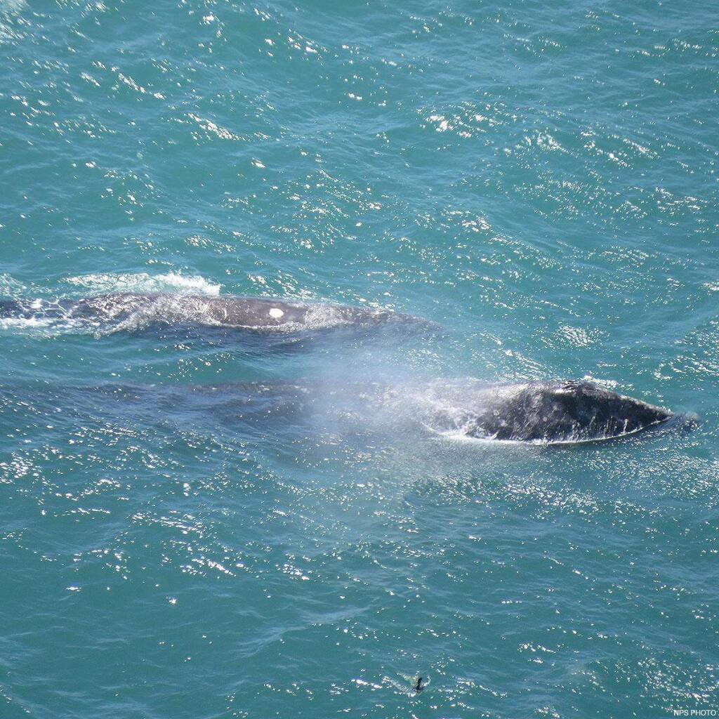 National Park ServiceA gray whale and her calf seen traveling together.