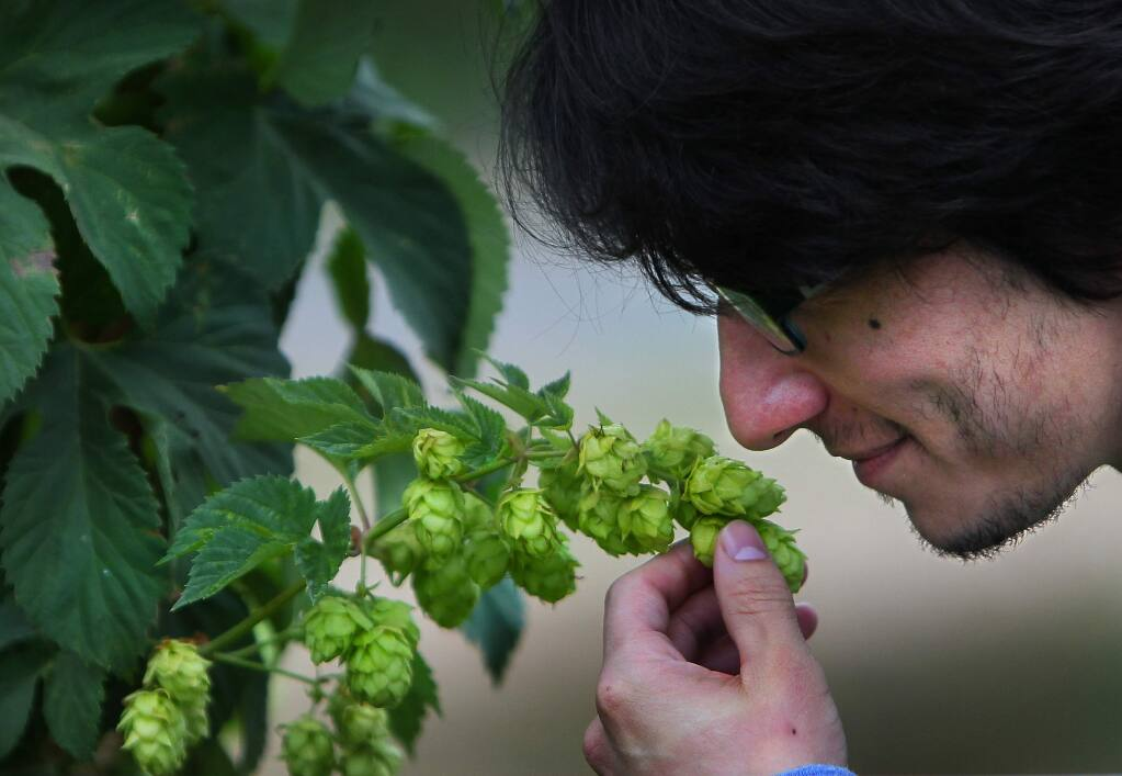 Ariel Ceja smells hops growing at the Carneros Brewing Company and Ceja Winery ranch outside of Sonoma. JB