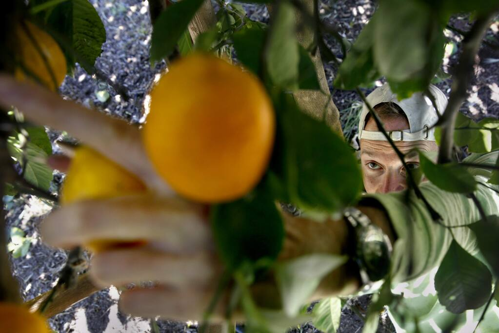 Erik Anderson, a volunteer from Farm to Pantry, gleans lemons from trees at a residence for the Healdsburg Food Pantry at in Healdsburg, on Tuesday, April 14, 2015. (BETH SCHLANKER/ The Press Democrat)