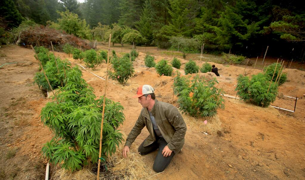 Justin Calvino pushes cover and mulch around his marijuana garden, a sativa that includes Coffee Kush and Willits Gold at his home in Albion Thursday Aug. 4, 2016. Calvino is part of an effort to dedicate certain regions of northern California as marijuana growing appellations titled, Mendocino Appellations Project. (Kent Porter / The Press Democrat) 2016