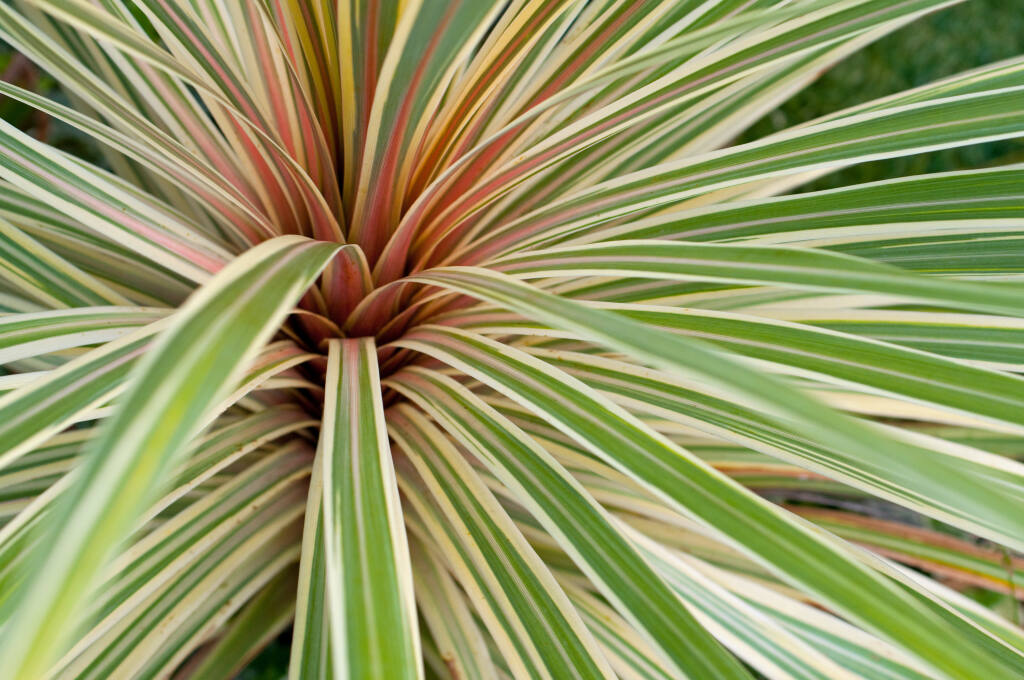 Some phormium cultivars will revert to their original colors but there are ways to prevent it. (Cmspic/Shutterstock)