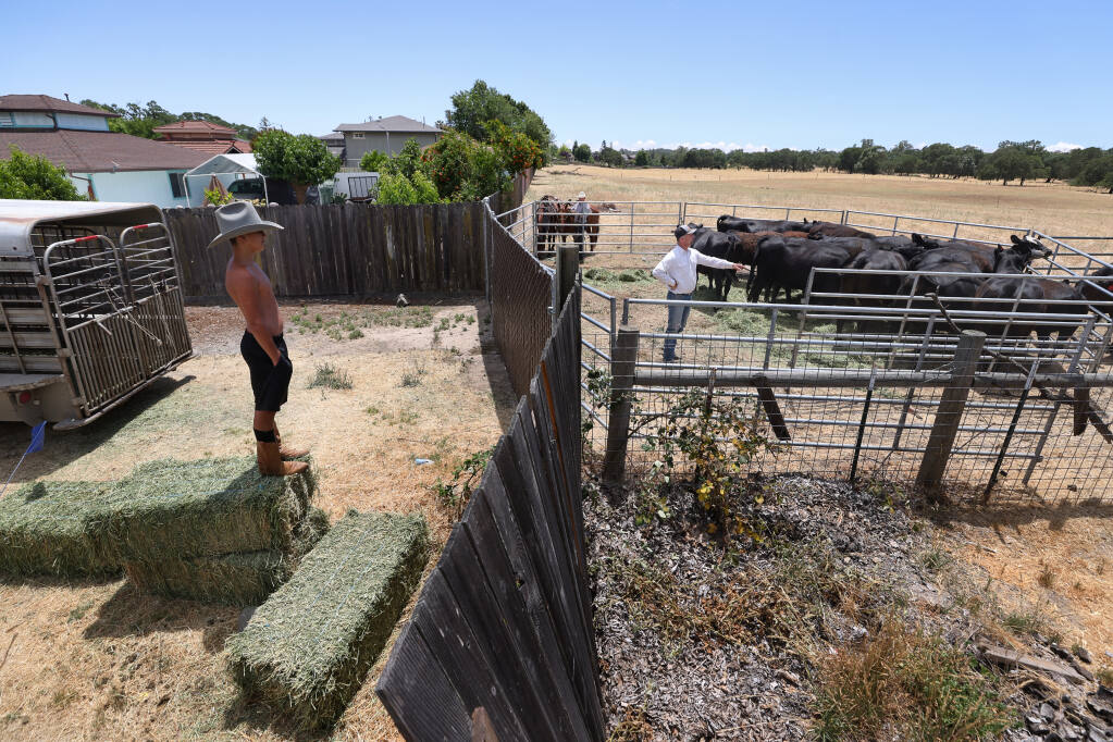Nathanual Ortiz Hernandez, 14, left, watches Rick Collins move cattle off land owned by the Lytton Rancheria, at the west end of Starr View Drive near Venus Drive, in Windsor on Wednesday, June 9, 2021.  The Lytton Rancheria tribe is poised to build a wastewater treatment plant on the property.  (Christopher Chung / The Press Democrat)