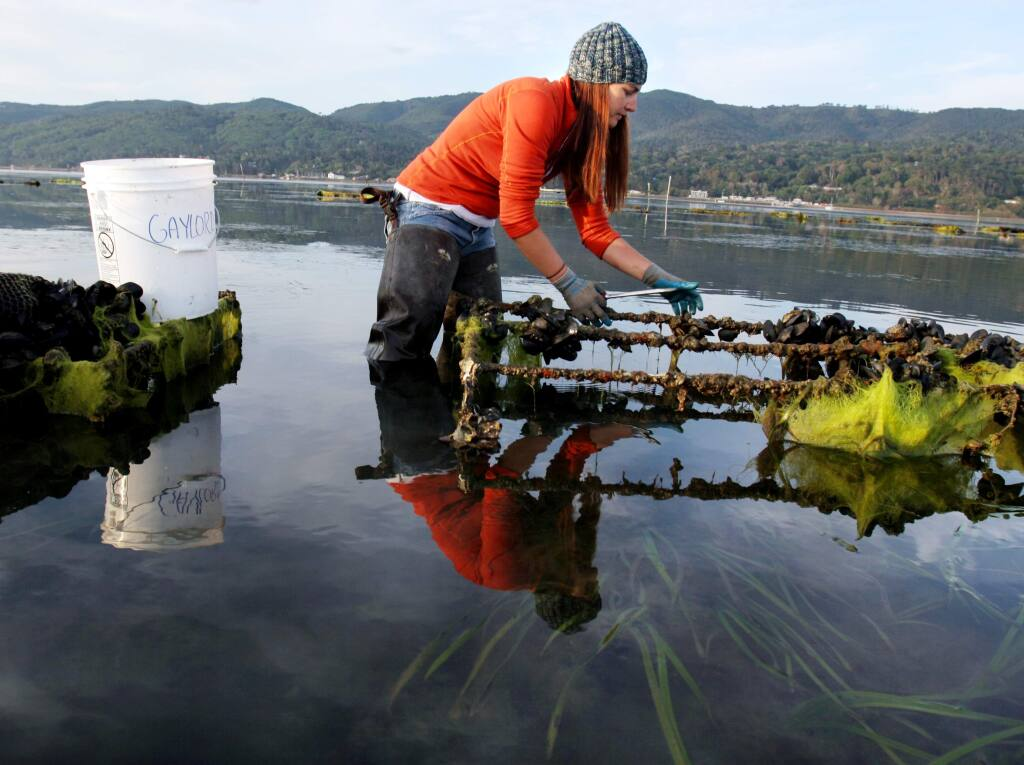 Bodega Marine Lab PhD candidate Annaliese Hettinger gathers native oysters from a Tomales Bay oyster farm for a study looking at the effects of increased ocean acidity on shellfish. (PD FILE, 2014)