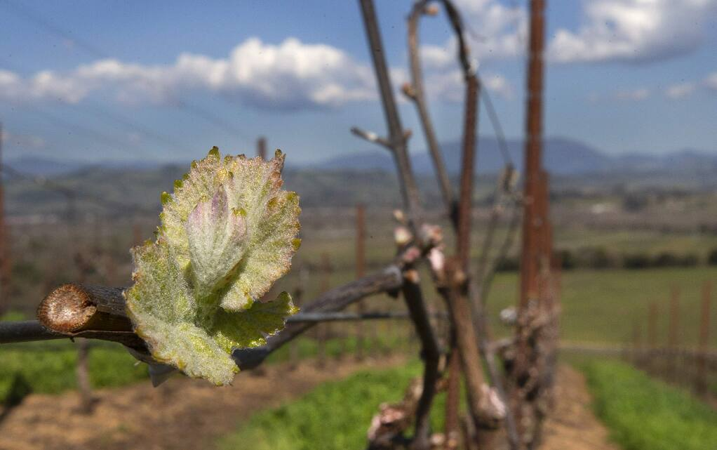The recent spell of warmer days have encourage the pinot noir vines buds to break open in the vineyard at Bucher Wines on Westside Rd. in Healdsburg. (photo by John Burgess/The Press Democrat)