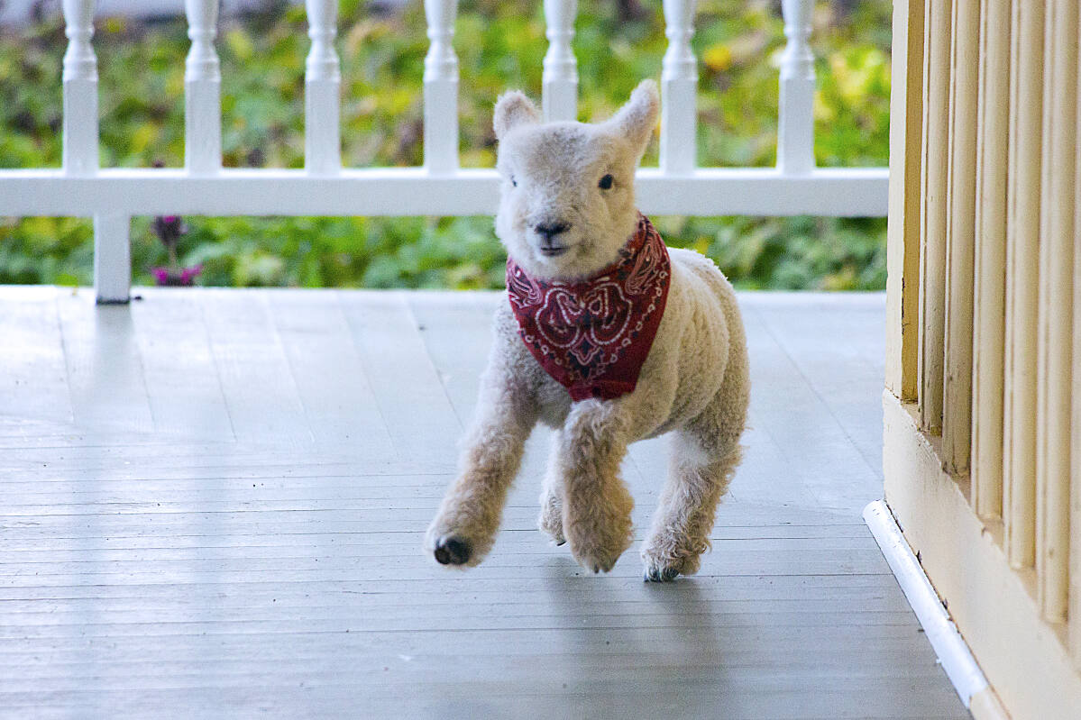 How An Abandoned Lamb Turned Into Beltane Ranch S House Pet