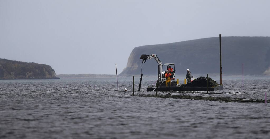 A work crew removes oyster racks from Drakes Estero, in the Point Reyes National Seashore, on Thursday, September 8, 2016. (Christopher Chung/ The Press Democrat)