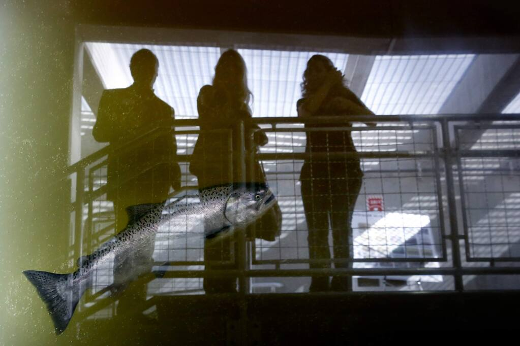 Guests observe from a viewing gallery as a Chinook salmon swims through the Sonoma County Water Agency's fish ladder in Forestville, on Wednesday, November 2, 2016. (BETH SCHLANKER/ The Press Democrat)