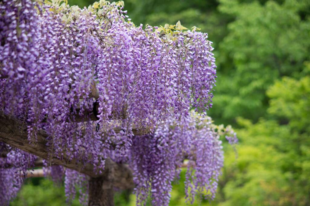 Tricks For Growing Great Wisteria