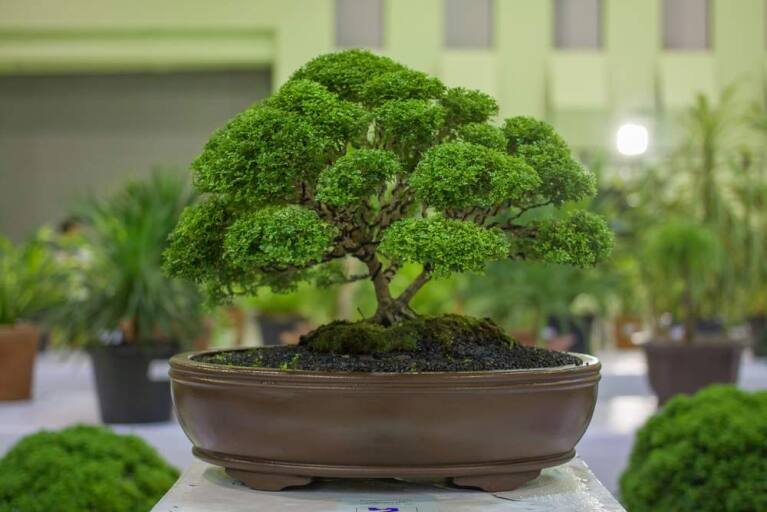 Bonsai Show In Santa Rosa Highlights Ancient Art