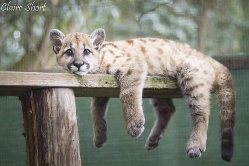 Sonoma County Wildlife Rescue is now caring for this 6-month-old cougar found wandering in Trinity County in April. (Courtesy of Sonoma County Wildlife Rescue)