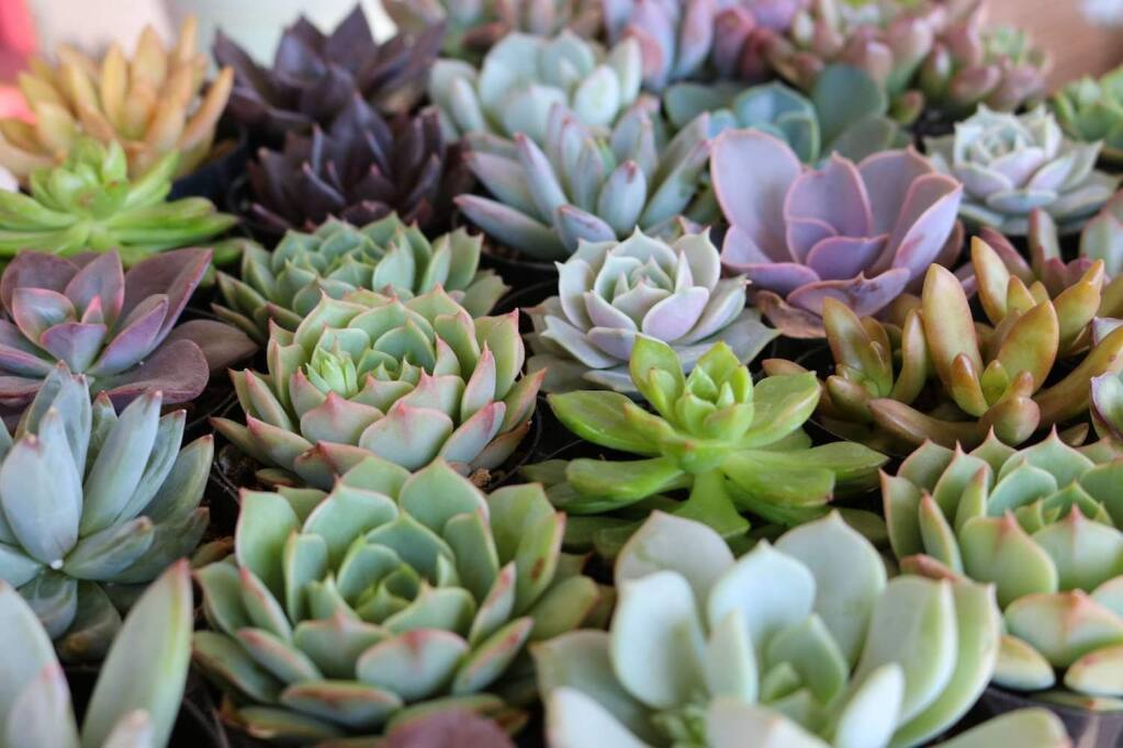 Succulent Swap this Saturday at the Petaluma Library.