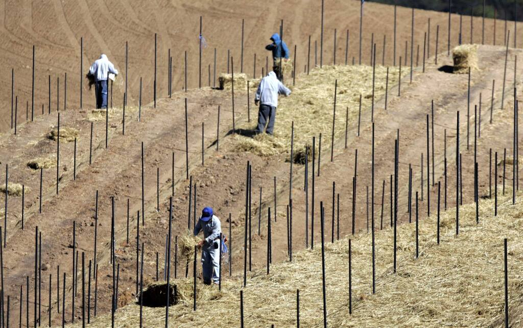 Workers spread hay on the new terraces of the Veeder Hills vineyard to prevent erosion for the Hess Collection in the mountains west of the town of Napa.
