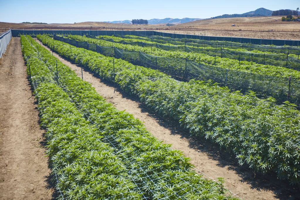 Perhaps as soon as next year, outdoor cannabis growers will be able to begin the process of creating appellations - label designations of where their product is grown.  (Sonoma Hills Farm Photo)