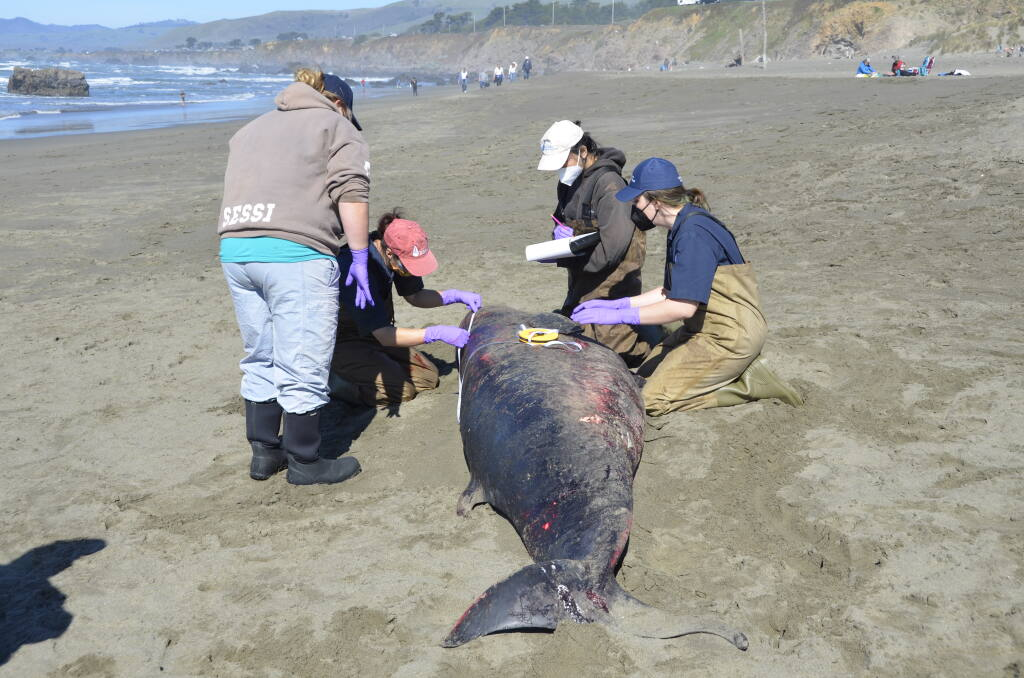 A team of experts from the Marine Mammal Center in Sausalito perform a necropsy on an adult female pygmy sperm whale at North Salmon Creek Beach in Sonoma County on Sunday, Feb. 21, 2021. (Marine Mammal Center)