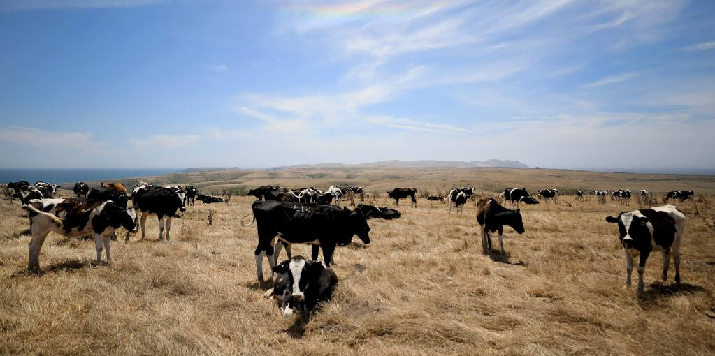 Holstein cattle graze at mid day, Thursday, Aug. 8, 2019 at the Pt. Reyes National Seashore in Marin County. (Kent Porter / The Press Democrat) 2019