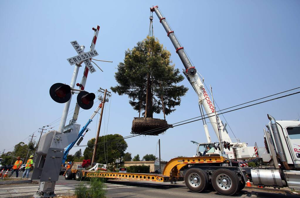 A rare chimera coast redwood tree is lifted from its location along the SMART tracks and onto a flatbed truck, along East Cotati Avenue, in Cotati on Thursday, August 7, 2014. (Christopher Chung/ The Press Democrat)