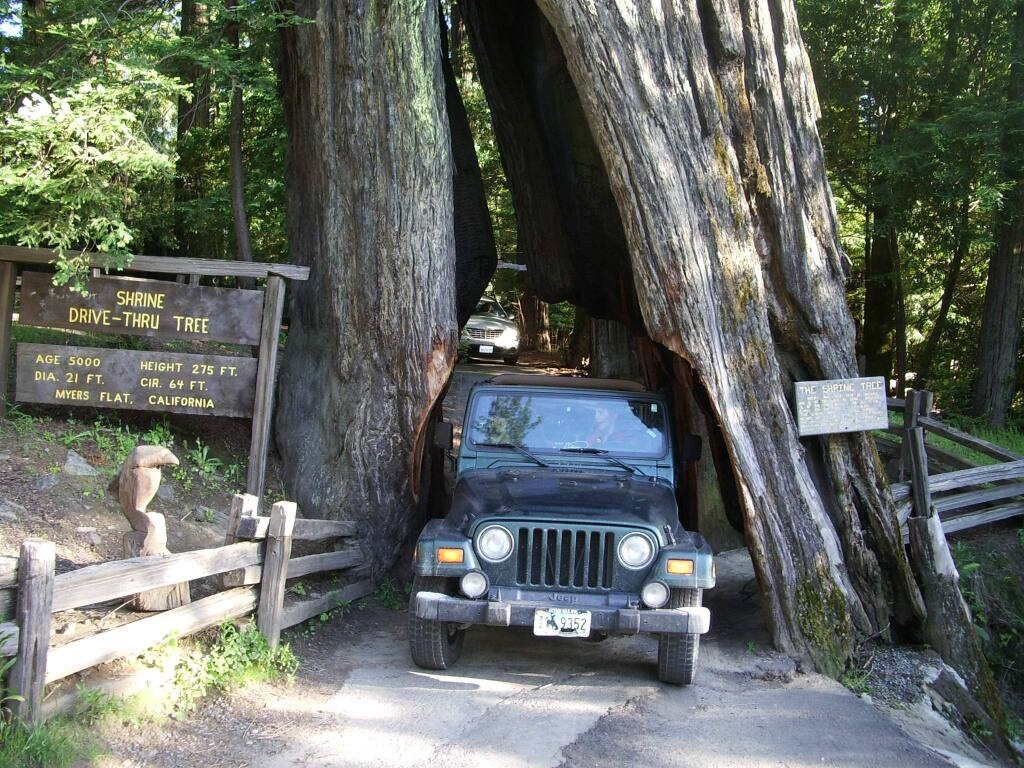 Hillary Hartley / Redwoods.infoThe Shrine Drive-Thru Tree in Myers Flat is a still-living 275-foot-tall redwood. A cavity that was formed naturally by fire was widened to accommodate cars.