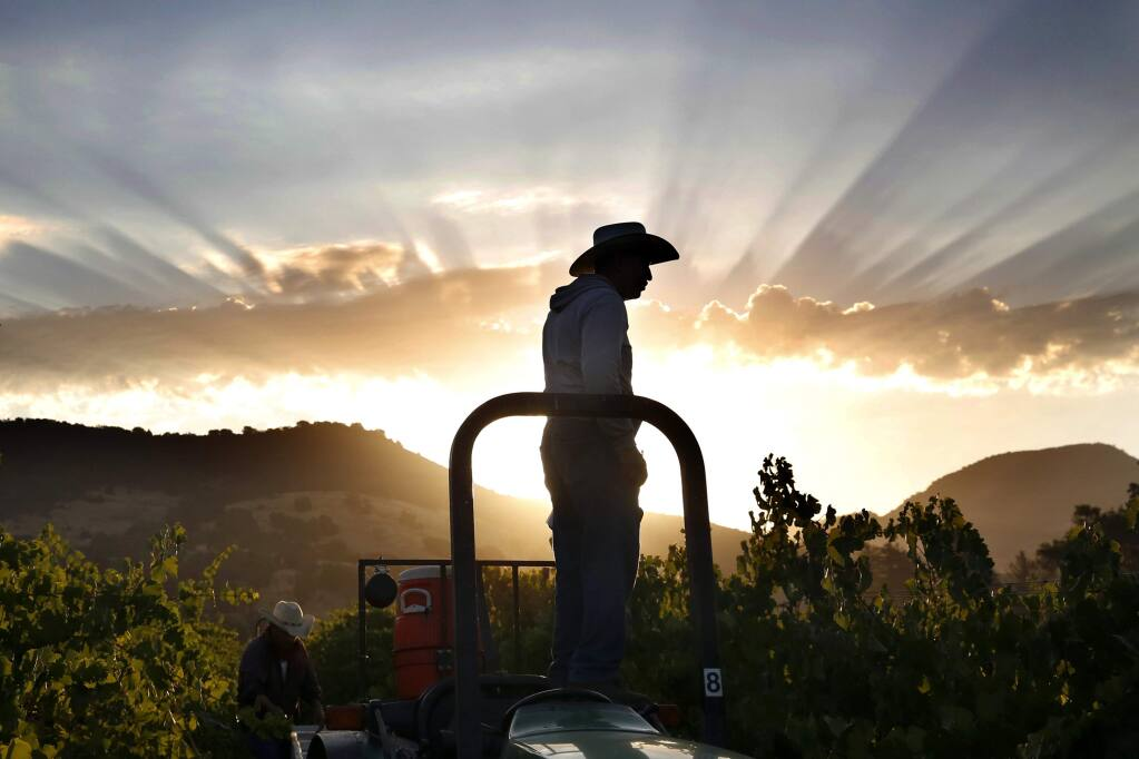 Crew foreman Geraldo Gonzalez watches as workers harvest pinot noir grapes at Vyborny's Game Farm vineyard on Wednesday, July 30, 2014 north of Yountville, California. (BETH SCHLANKER/ The Press Democrat)