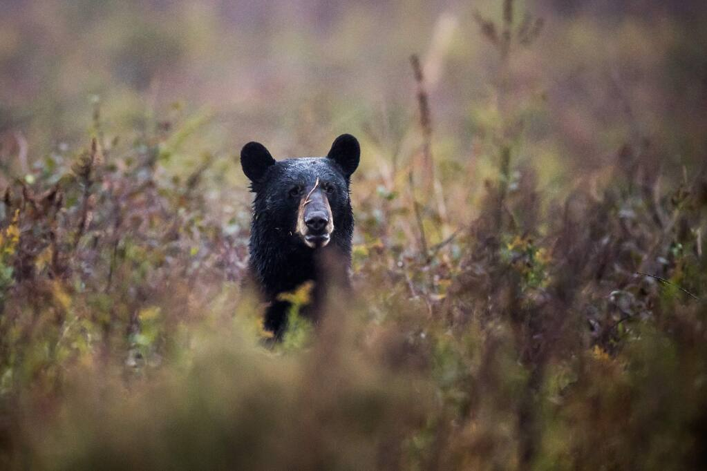 A black bear rises in a field at the Alligator River National Wildlife Refuge. Washington Post photo by Salwan Georges
