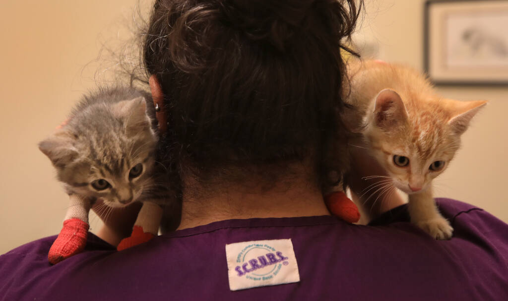 Erin Chmielewski of Brandner Veterinary Hospital in Petaluma, cares for two kittens, Tuesday, June 8, 2021 that were slightly burned during a brush fire in Cloverdale last Saturday. (Kent Porter / The Press Democrat) 2021