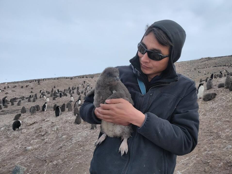 QUALITY TIME: Dennis Jongsomjit bands an Adelie penguin chick in Antarctica. (Photo by Amélie Lescroël)