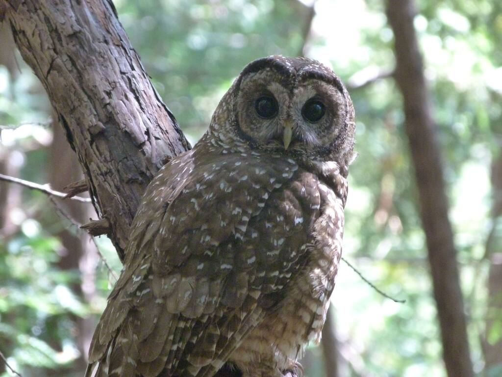 Northern Spotted Owl. These owls live in the canopy of trees in the areas where wildfires are burning. Many that fled the wildfires may show up in areas around Petaluma. (Danae Mouton, Point Blue Conservation Science)