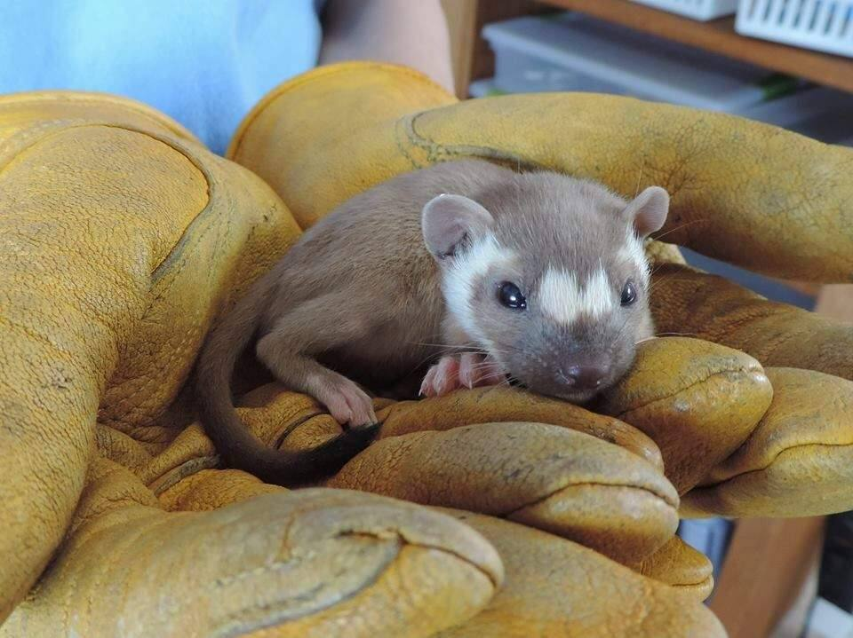 A long tailed weasel was rescued by the Sonoma County Wildlife Rescue in Petaluma. COURTESY SONOMA COUNTY WILDLIFE RESCUE