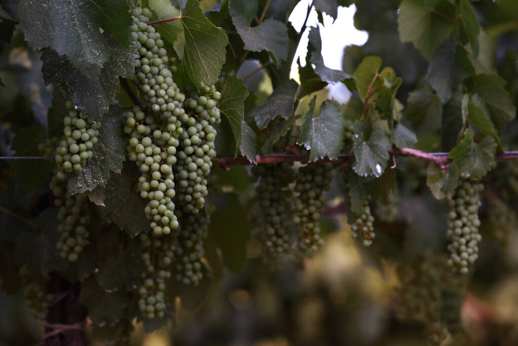 Noble Vineyard Management CEO Tyler Rodrigue has been seeing a below average chardonnay grape cluster count possibly related to lack of rain and severe drought conditions at the Mendocino County Haiku Vineyard in Talmage Calif. on Thursday, July 1, 2021. (Erik Castro / For The Press Democrat)