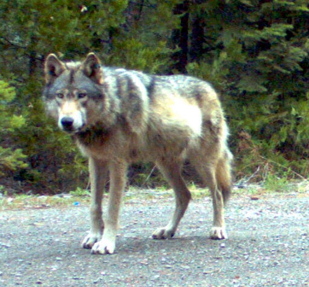 A gray wolf, known as OR-7, was the first wild wolf seen in California since 1924. He entered California in December 2011. (Oregon Department of Fish and Wildlife)
