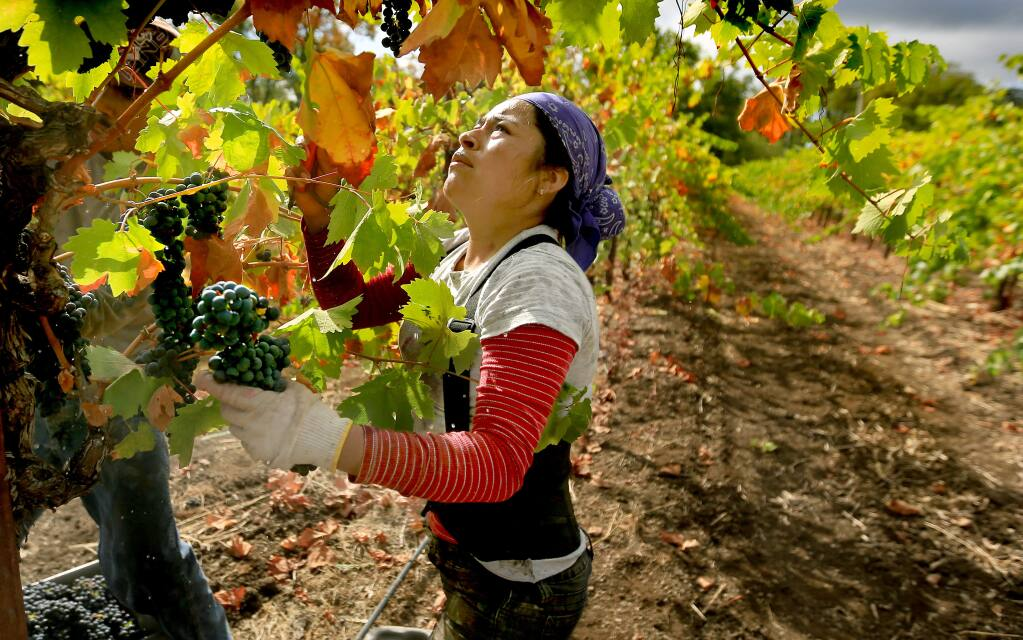 Romero Reyes shuttles a bin of cabernet sauvignon grapes at Peline Vineyards in the Alexander Valley, Wednesday Oct. 12, 2016 as crews work overtime to pull the last of the harvest in before an arriving storm Friday. (Kent Porter / Press Democrat ) 2016