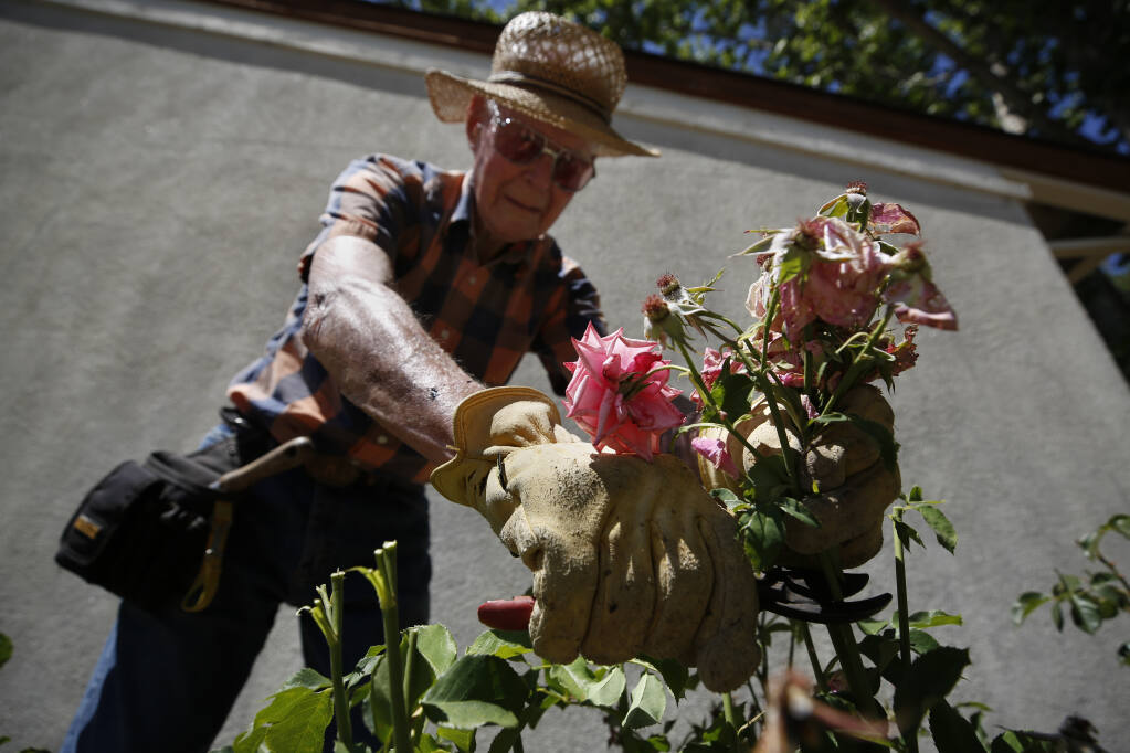 Volunteer Wendell Freeman, 98, deadheads roses along the side of a classroom building at Luther Burbank Elementary School in Santa Rosa, Calif., on Tuesday, June 1, 2021. (Beth Schlanker/The Press Democrat)