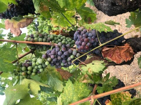 A cluster of Mendocino County zinfandel shows uneven change of color toward ripening (veraison) on Aug. 12, 2021. (courtesy of Barra of Mendocino / Redwood Valley Vineyards)