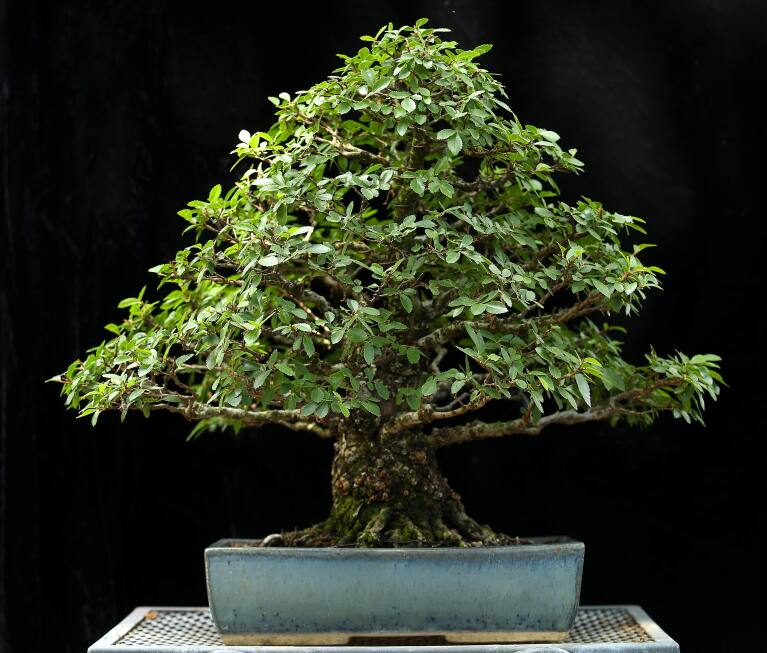 The Art Of Bonsai As Practiced In Sonoma County